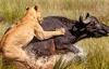 Sư tử suýt mất mạng trước cá sấu vì mải săn trâu rừng