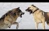 Những pha chạm trán giữa chó nhà và chó hoang dã