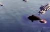 Báo đốm bị bầy cá sấu