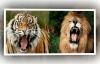 Trận chiến sinh tử giữa hổ và sư tử