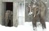 Chú voi châu Á phấn khích khi lần đầu được nhìn thấy tuyết