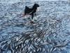 Hàng triệu con cá đóng băng vì trời lạnh