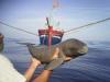 Clip: Ngư dân Nghệ An cứu cá heo bị thương giữa đại dương