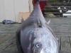 Câu được cá ngừ 'khổng lồ' trị giá 40 tỷ đồng
