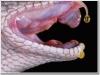 Clip: Hậu quả khủng khiếp khi nọc rắn tiếp xúc máu người
