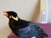 Kinh ngạc với chú chim nói tiếng Nhật như gió