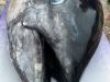 5 cô gái bắt được con cá ngừ khổng lồ trị giá hơn 35 tỷ đồng