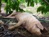 Lượm xác lợn chết về ăn, 1 người tử vong