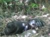 Xác chết mất đầu bị treo lên cành cây đang phân hủy, bốc mùi hôi thối