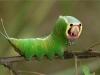 Chiêu bắt mồi sát thủ của sâu bướm Hawaii