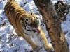 Một con hổ quý của Tổng thống Putin đã trở về Nga
