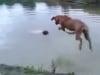 Chú chó trung thành,lao xuống nước cứu chủ nhân