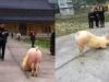 Trung Quốc: Thú vị hình ảnh chú lợn vái trước cửa đền
