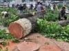 Vụ chặt hạ cây xanh ở Hà Nội: Tiết lộ gây sốc của dân buôn gỗ