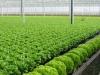 Cận cảnh công nghệ sản xuất loại rau 800 nghìn/kg
