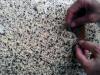Dân sành ăn Hà Nội phát cuồng trứng kiến gai đen bạc triệu