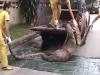 Clip: Nuốt trọn một chú lợn, trăn khổng lồ bị nghẹn chết
