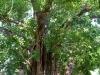 Cây bồ đề 132 năm tuổi ở Đắk Lắk được công nhân là Cây di sản Việt Nam