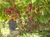 Những cây trồng mang lợi nhuận tỷ đô tại Việt Nam