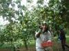 Trồng táo hồng, nông dân thu lãi trăm triệu đồng