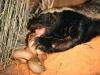 Màn quyết chiến của loài bò sát sở hữu nọc độc mạnh nhất hành tinh