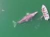 Cá voi xám ngoi lên mặt nước vui đùa cùng du khách