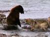 Gấu xám một mình 'tả xung hữu đột' đánh bật bầy sói để giành mồi