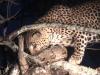 Linh cẩu giết trăn cướp linh dương, báo đốm thừa cơ cắp trăn lên cây ăn thịt
