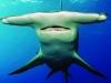 Video: Cá mập đầu búa liên tục uy hiếp người chèo thuyền