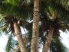 Cây dừa 3 ngọn trả giá 1 tỷ đồng không bán ở Bình Phước