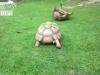 Chú rùa lon ton chạy ra giúp bạn lật người gây thích thú
