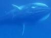 Video đầu tiên cận cảnh cá voi Omura hiếm gặp nhất hành tinh