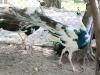 Đại gia Việt chi bộn tiền săn lùng chim công đột biến
