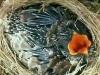 Cận cảnh loài chim 'sát thủ' nhất trong thiên nhiên