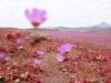 Cận cảnh cánh đồng hoa đẹp hút hồn hồi sinh ở sa mạc khô cằn nhất thế giới