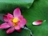 Lá sen, hoa sen và những công dụng bất ngờ đối với sức khỏe
