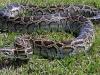 Vụ trăn khủng dài 5m nuốt chửng bê ở Quảng Nam: Làm gì khi gặp trăn gấm?