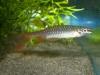 Kỳ lạ loài cá thích phi lên cây để đẻ trứng