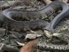 Rắn đuôi chuông bị rắn mamba tung cú đớp 'tử thần'