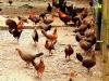 Trang trại 5.000 con gà rừng cho thu nhập 20 tỷ mỗi năm