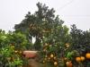 Chiêm ngưỡng cây bưởi cao 5m với giá 'nghìn đô'