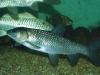 Cá trắm đen và những lợi ích tuyệt vời ít người biết
