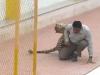 Video: Báo hoang lang thang trong trường, đả thương 6 người