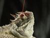 Video: Thằn lằn phun cột máu cao 1,5m từ hốc mắt để tự vệ