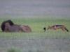 Hy hữu: Chó rừng giỡn mặt, cắn đuôi sư tử đực