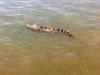 Vây bắt cá sấu 'khủng' trên sông Soài Rạp