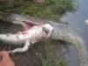 Clip: Mổ bụng trăn tinh, kinh hãi phát hiện xác của cá sấu khổng lồ