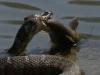 Video rắn nước vật vã nuốt chửng cá tra 'khủng'