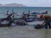 Video: Hàng loạt cá voi mắc cạn, chết trên bãi biển Mexico