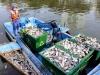 Vớt gần 70 tấn cá chết trên sông ở Sài Gòn